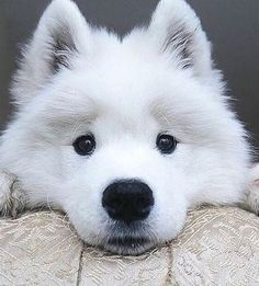 Chien mignon Chien dog Cute Dog Beautiful dog Pretty dog Cool dog Cute dog pictures Cute dog Video Satisfying Satisfaisant Kawai dog Doggydog Cute dogs Cute dogs in the world Cute dog breeds Cute dogs small Cute dogs pics Cute dogs ever Samoyed Dogs, Pet Dogs, Dog Cat, Doggies, Cute Baby Animals, Animals And Pets, Funny Animals, Animals Photos, Beautiful Dogs
