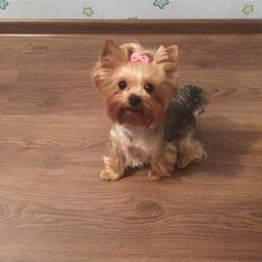 """Fantastic """"Yorkshire terrier dogs"""" information is readily available on our internet site. Take a look and you wont be sorry you did. Tiny Puppies, Puppies And Kitties, Cute Puppies, Cute Dogs, Yorkies, Yorkie Puppy, Teacup Yorkie, Teacup Puppies, Yorshire Terrier"""
