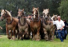 a demonstration with 16 Belgian draft horses. | Photos taken… | Flickr