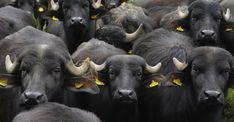 Buffalos near Zinna, Germany