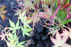Oravankesäpesä | Japaninvaahterat Acer palmatum 'Katsura' ja  'Seiruy'