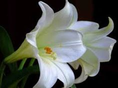Fragrant and delightful collection of lily pictures to sooth your soul and enlivens your spirit! Enjoy the beauty of lily. Flowers are the sweetest things God ever made and forgot to put a soul into. Perfumes are the feelings of flowers. Chrysanthemum, Petunias, White Flowers, Beautiful Flowers, Romantic Flowers, Lily Pictures, Flower Structure, Wild Iris, Gladiolus