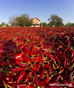 The Paprika and Hungary Hungarian Cuisine, Hungarian Recipes, Worlds Hottest Pepper, Chilli Plant, Grape Vineyard, Hungarian Paprika, Field Of Dreams, Budapest Hungary, Fruit And Veg