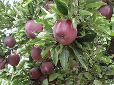 Apple Picking at Los Rios Rancho, Oak Glen