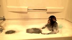 Chimps: beseeching the shower god for more bubbles. | Which Animals Are Happiest About Bathtime? -If you're looking for a smile today. :)