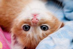 Blue-Eyed Baby Kitten.