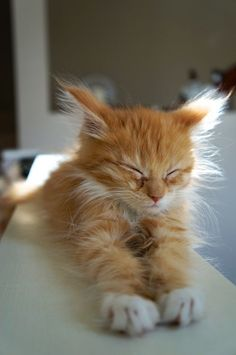 We do our best to scourer the web to bring you cute cat pics that will make you day. Cute Cats And Kittens, I Love Cats, Crazy Cats, Kittens Cutest, Fluffy Kittens, Fluffy Cat, Pretty Cats, Beautiful Cats, Animals Beautiful