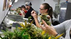 As the federal Liberals map out their plan for legalizing marijuana, politicians and policy analysts look at how — and how successfully — other countries have overturned the prohibition of pot.