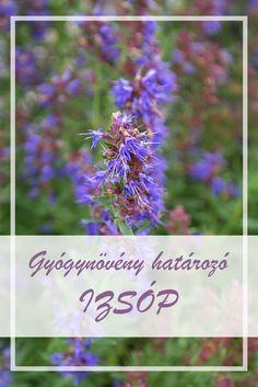 Az Izsóp, közönséges népies neve:  Izsópfű, kerti izsóp.  Hogyan gyűjtsük az Izsóp, közönséges gyógynövényt?  A növény virágzó leveles hajtásainak felső részét kell szedni. Július-augusztusban virágzik. Évente kétszer aratható. Herbs, Gardening, Plants, Lawn And Garden, Herb, Plant, Planets, Horticulture, Medicinal Plants