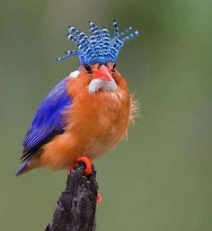 malachite kingfisher … alcedo cristata … is a river kingfisher found in africa …  south of the sahara …