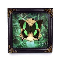 Goth style frame. It is 100% handmade work that includes preserved butterfly, painting, and decor. This frame is unique and sold as a single copy.  Specimens that used for mounting passed away their natural way. OUR MISSION is to retain the beauty of deceased creatures and share it the whole world.  Papilio palinurus, the emerald swallowtail, emerald peacock or green-banded peacock, is a butterfly of the genus Papilio belonging to the Papilionidae family. It is native to Southeast Asia, but…