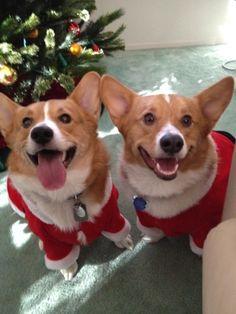 Happy holiday corgis
