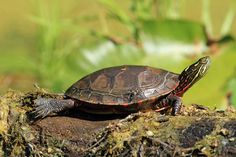 Painted Turtle, oh how I miss my turtle.  Loved the way he would stretch his legs out like this.  So cute!
