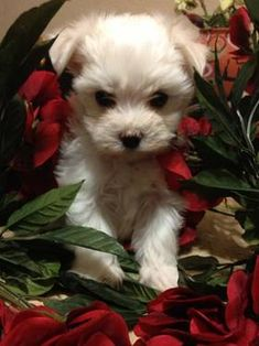 Maltese puppies-Male (registered)