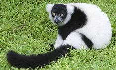 Black-and-white ruffed lemur. Critically endangered.