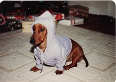 gangsta dachshund