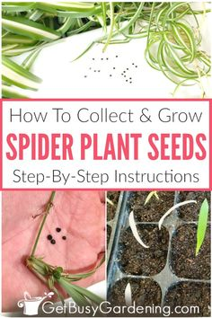 Growing spider plants from seed is easy. Here are detailed instructions for how to collect and grow spider plant seeds, and care for spider plant seedlings. Garden Seeds, Planting Seeds, Indoor Plants, Indoor Gardening, Potted Plants, Gardening Tips, White Flowering Plants, Diy Projects On A Budget