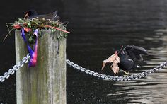 A moorhen walks along a chain whilst carrying building materials for its partners nest, in the Serpentine Lake in London