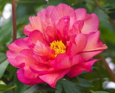 """Copper hued, semi-double flower is enriched further with deep copper centers of the Paeonia """"Kopper Kettle"""" blossom. (Itoh)"""