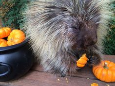 Porcupine enjoying a mini pumpkin #Cute
