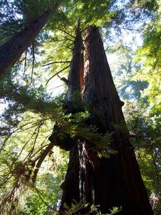 #Redwoods Northern #California Vacation