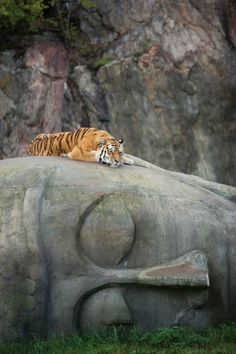 Gorgeous tiger sleeping on top of a fallen statue.