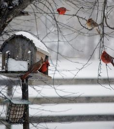 Cardinals - winter's bird