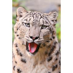 Snow Leopards Discovered Flourishing in Afghanistan ❤ liked on Polyvore featuring animals and backgrounds