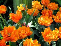tulipany 2013