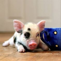 teacup pig. with a teacup! i want one! ah sooo cute!