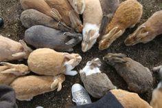 Bunny Island Japan | Fact → Rabbit Island in Japan