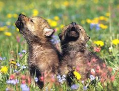 Wolf pups.
