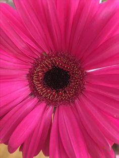 Gerber Daisy, by sharonlgrace