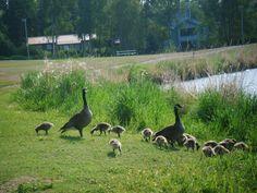 familia pato