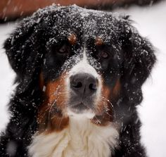 Bernese Mountain Dog. I LOVE these dogs!