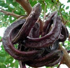 What is carob? Carob is a nutritious and tasty powder that can be made fresh using ripe carob pods. The carob tree (Ceratonia siliqua) grows all over the world in arid dry locations. Tree With Pods, Soil Improvement, Permaculture Design, Tree Leaves, Seed Pods, Fruit Trees, Livestock, Maltese, Superfoods