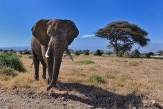 Bull Elephant in front of Mt. Kilimanjaro in Amboseli National Park, Kenya, East Africa Tanzania, Kenya, Bull Elephant, Elephant Design, Elephant Facts, Elephant Head, Frog Habitat, Lion Photography, Elephant Photography