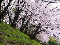 cherry blossoms + spring rain 2017 : 桜+春雨2017