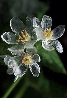 """""""diphylleia grayi also known as the skeleton flower. the petals turn transparent with the rain."""