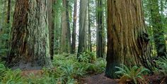 Trees Of Mystery, amazing redwood trees attraction California North Coast near Redwood National Park