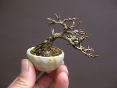 Mame Bonsai, Minis, Shito, Planter Pots, Floral, Flowers, Natural, Beauty, Miniatures
