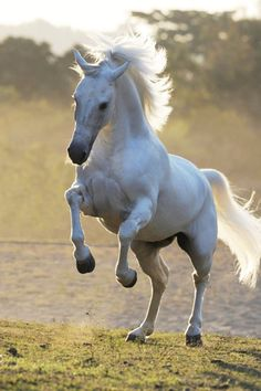 Mangalarga Marchador - Brazilian horse breed of Iberian and Lusitano stallions of Portugal descent, valued for their carriage, beauty, intelligence, disposition, and prized for two unique ambling gaits: the diagonal batida the lateral picada. Baroque Horse Magazine. #Equine #Animals