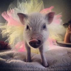 Mini pig in tutu. Cute Baby Pigs, Cute Piglets, Micro Piglets, Small Pet Pigs, Baby Animals, Cute Animals, Teacup Pigs, Mini Pigs, Pet Fashion