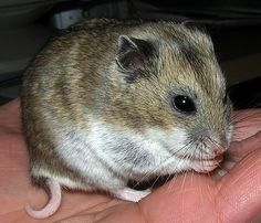 chinese dwarf hamster - Google Search