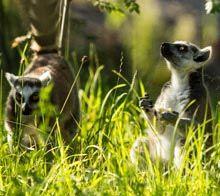 Pevninské ostrovy Fox, Animals, Animales, Animaux, Animais, Foxes, Animal