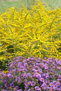 Autumn planting combination of Aster Purple Dome and Goldenrod Fireworks, New England Aster and yellow Solidago flowers in fall