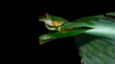 Red-Eeyed Tree Frog - null