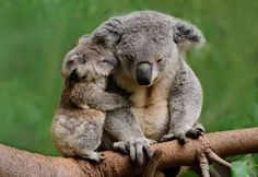 Mama and Baby Koala Bear! Too much cuteness here! Cute Funny Animals, Cute Baby Animals, Animals And Pets, Wild Animals, Fluffy Animals, Nature Animals, Australian Animals, Tier Fotos, Mundo Animal
