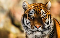 The Siberian Tiger STOCK by PictureByPali.deviantart.com on @deviantART