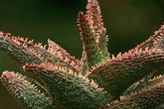 Aloe cv Vito della famiglia delle Liliacee